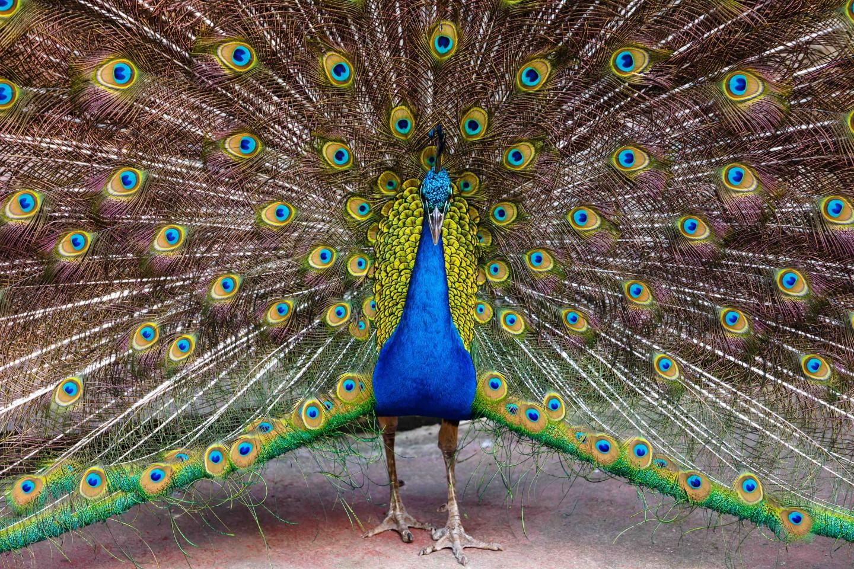 Il simbolo del pavone tuscanypeople - Immagini pavone a colori ...