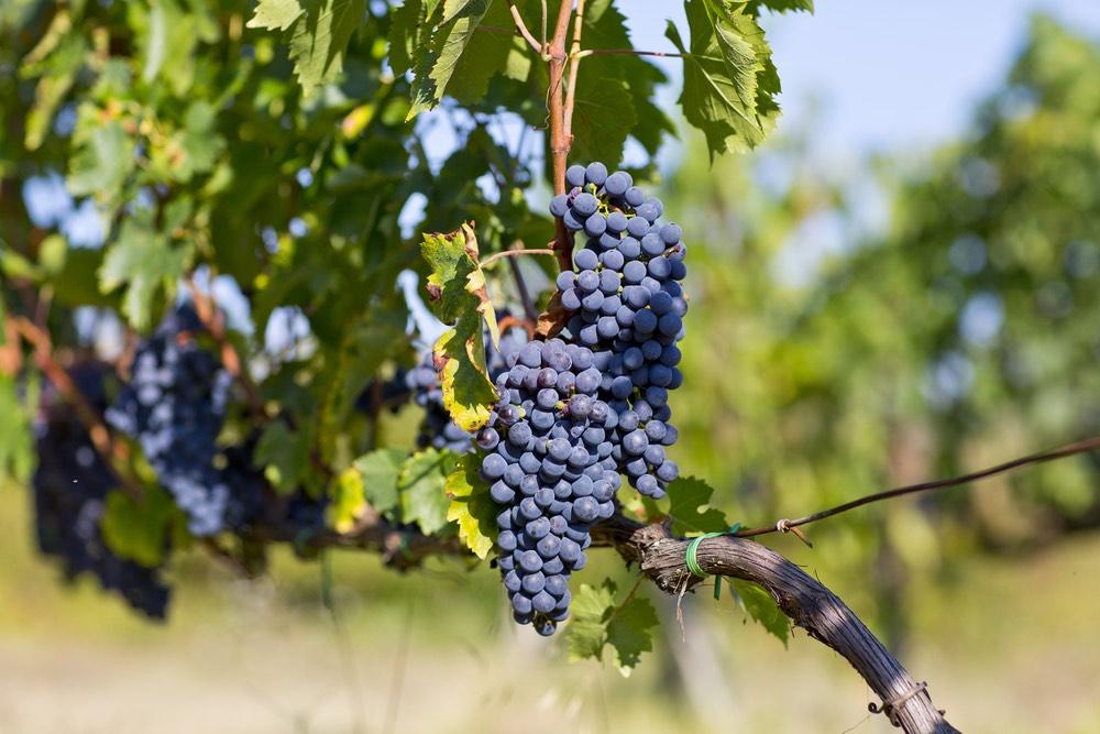 Grappoli di uva per Brunello di Montalcino