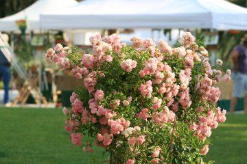 Evegreen Forte si terrà a Forte dei Marmi dal 19 al 21 giugno. La manifestazione dedicata ai giardini, all'arte e al Mediterraneo si svolge in Piazza Dante