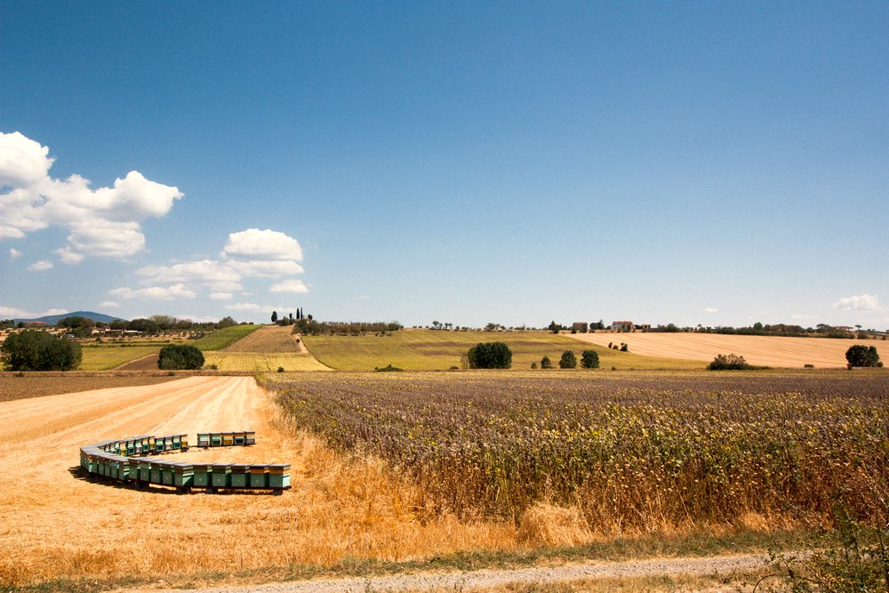 Alveari in Toscana in campo di grano in una giornata estiva di sole