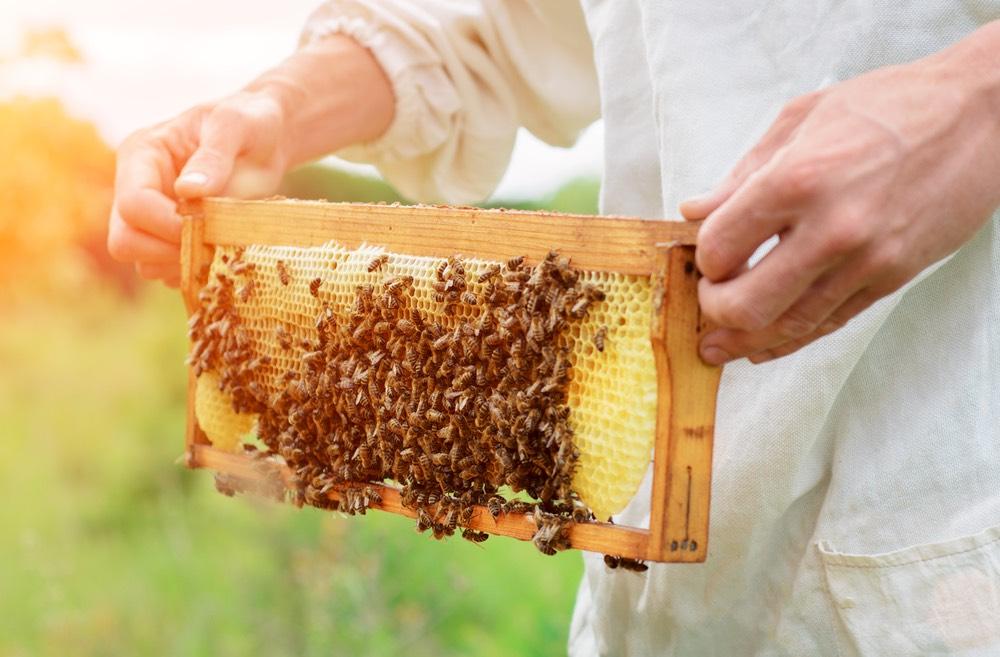 Apicoltore con cella di miele in mano con api