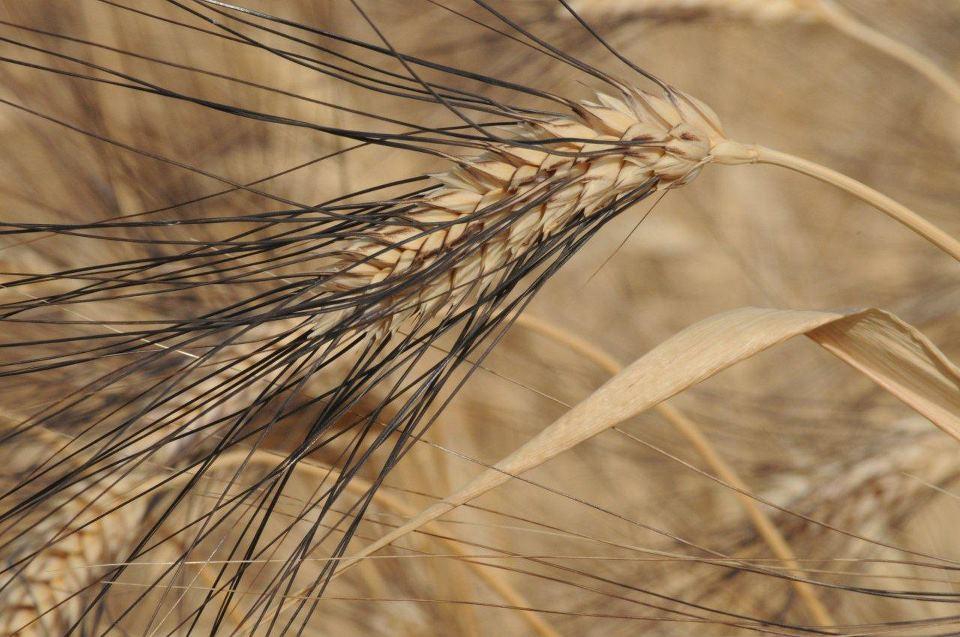 Il Grano Senatore Cappelli è un grano antico, scomparso dalle nostre tavole con l'arrivo del grano Creso, ottenuto con tecniche di mutagenesi