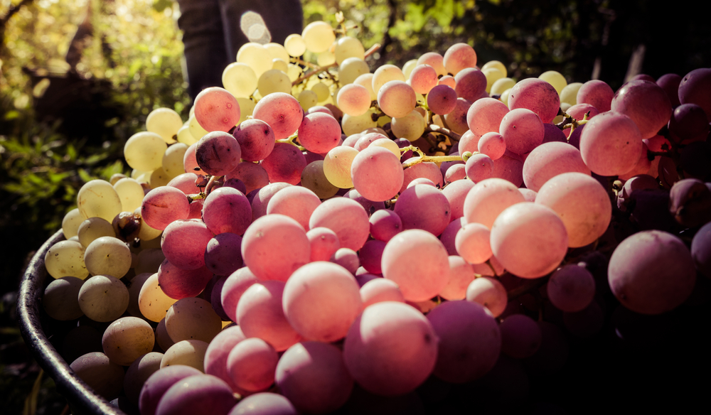 La storia del vino in Toscana ha origine nel VII sec a.C. ed ogni popolazione toscana ha reso la vitis vinifera centro della propria cultura