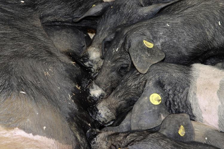 I suini toscani sono apprezzati per la qualità della loro carne. Le razze di maiali toscani più note sono: la Macchialola e la Cinta Senese