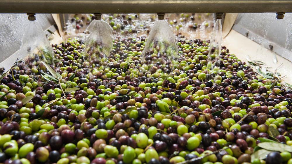 L'Azienda Olearia del Chianti con sede a Panzano rappresenta l'eccellenza della produzione di olio extravergine di oliva 100% made in Tuscany