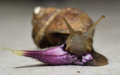 Gli allevamenti di chiocciole in Toscana, allevano la Helix Axpersa Muller: chiocciola toscana ottima da mangiare e da usare in ecocosmetici.