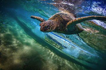 Tartalife: il progetto dei pescatori toscani di Federcoopesca-Confcooperative per proteggere le tartarughe marine dalle catture accidenatali