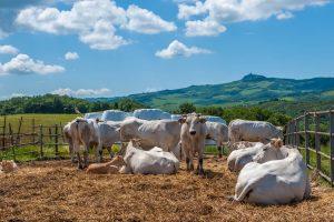 La carne chianina è un'IGP toscana. Conosciuta da 2500 anni la carne chianina è un prodotto ricercato. Vi raccontiamo storia e curiosità