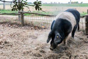 La Cinta senese è una razza di suini toscana molto pregiata. Nel 2012 ha ottenuto il riconoscimento di DOP: Denominazione di Origine Protetta