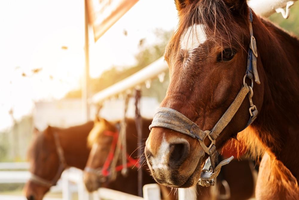 Cavallo da equitazione