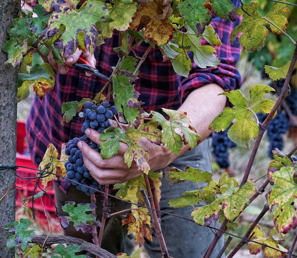 Vigne di barbera coltivate con il Metodo Corio