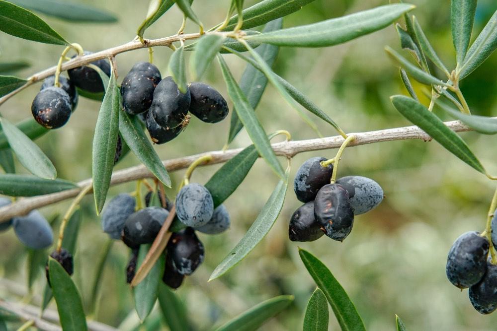 Olive colpite dalla mosca olearia, Bactrocera oleae