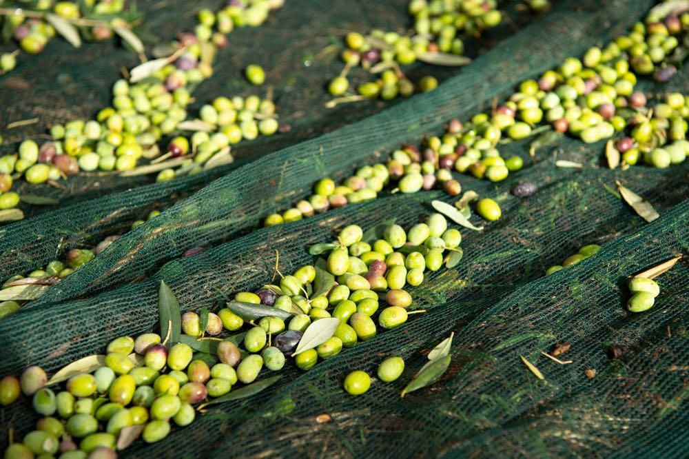 Olive raccolte per l'olio toscano 2019 in Toscana