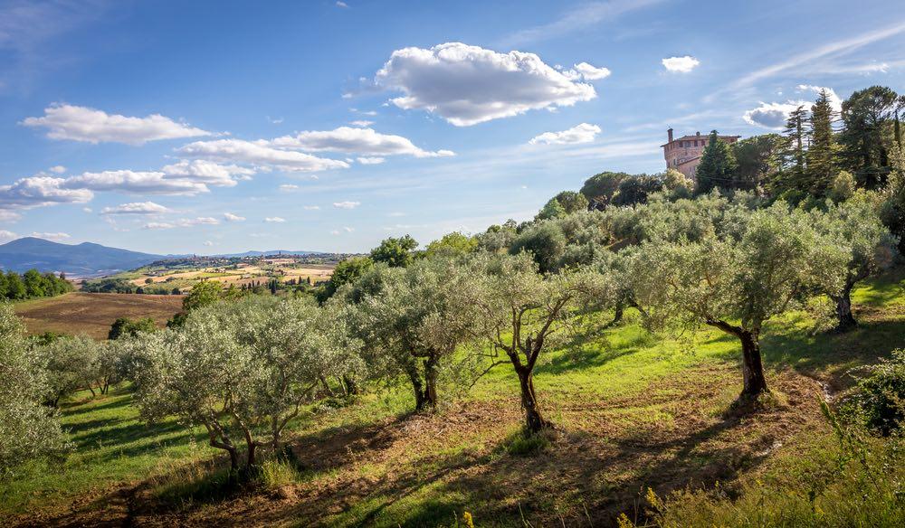 Campo di olivi in Toscana