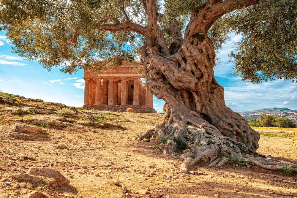 Antico olivo nella Valle dei Templi a Agrigento