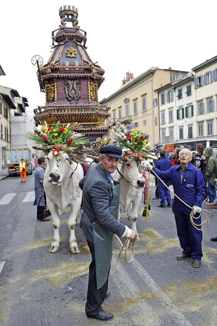 I buoi che trainano il Brindellone dello Scoppio del Carro a Firenze