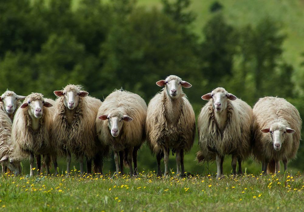 L'allevamento di pecore in Toscana è finalizzato prevalentemente alla produzione di latte ovino per il Pecorino toscano DOP.