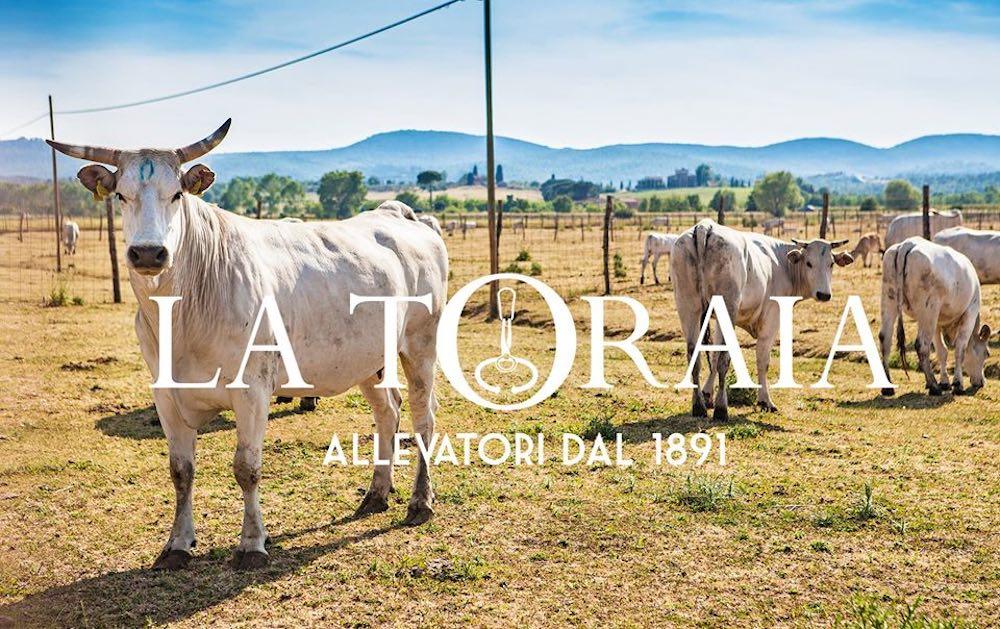 La Toraia è una delle aziende più importanti in Toscana per allevamento di carne chianina.