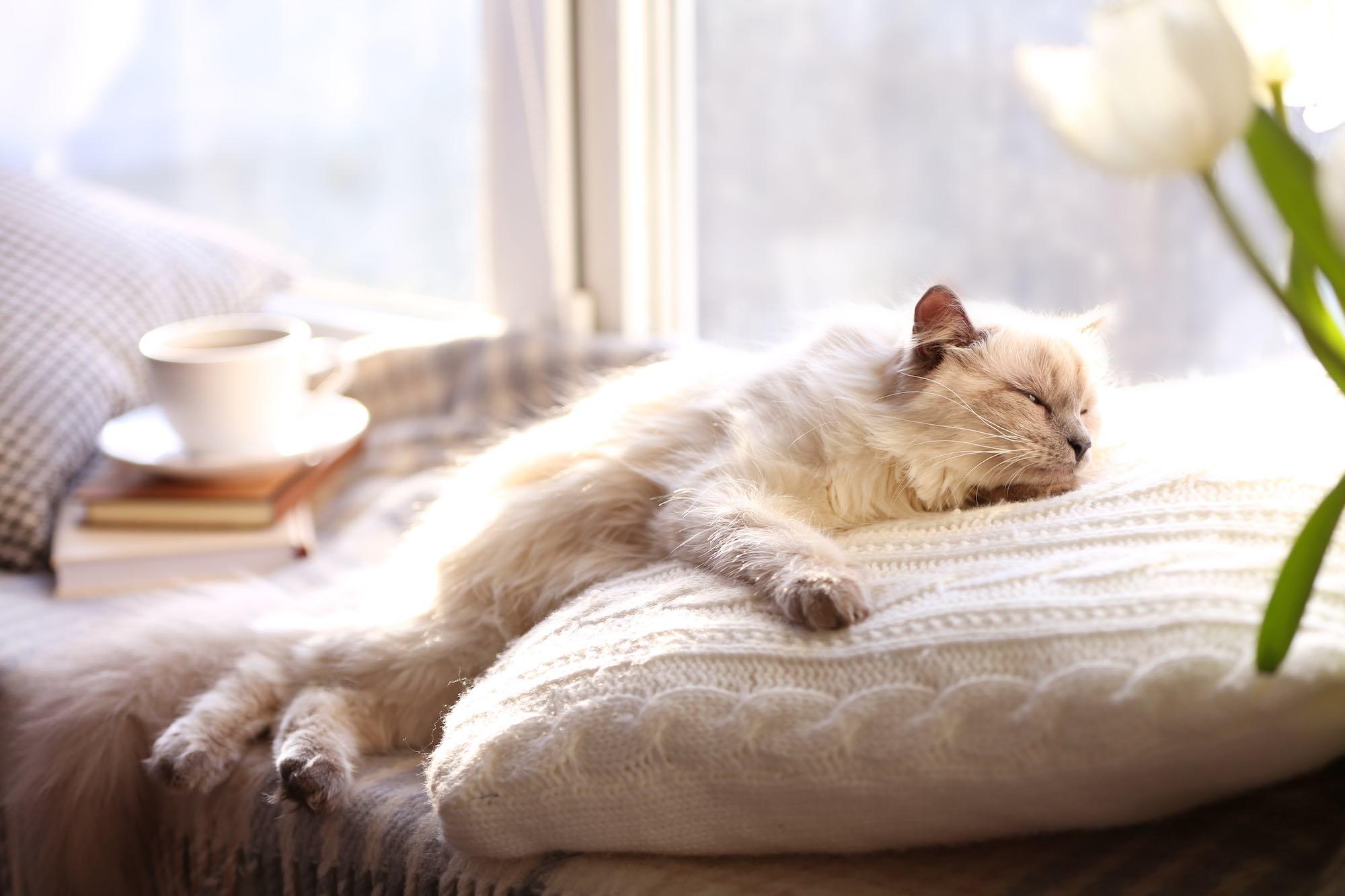 Gatto a pelo lungo dorme vicino alla finestra