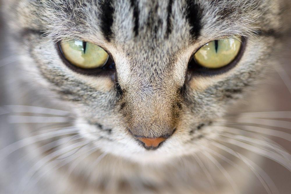 Occhi ipnotici di gatto tigrato