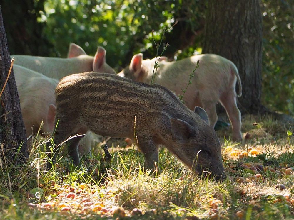 Cuccioli di cinghiale e maiale in Toscana