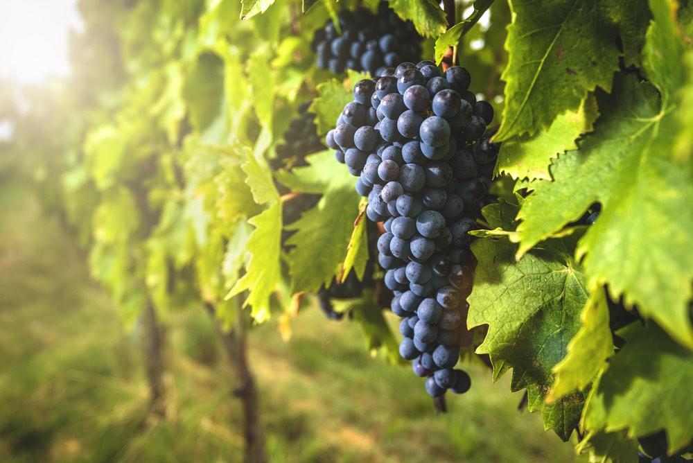 Grappolo di uva sangiovese