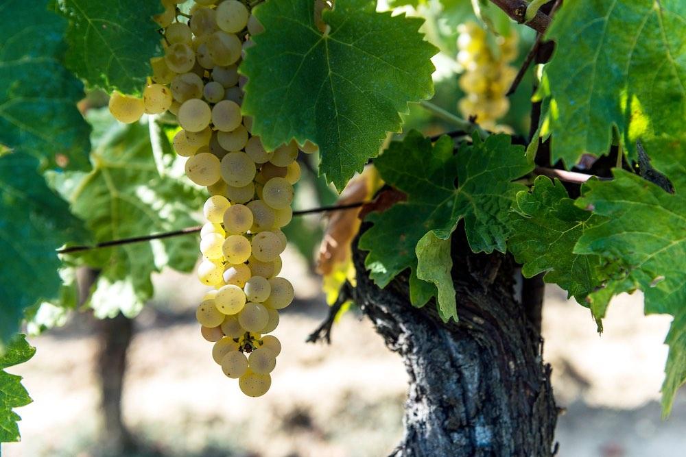 Grappolo d'uva per la Vernaccia di San Gimignano