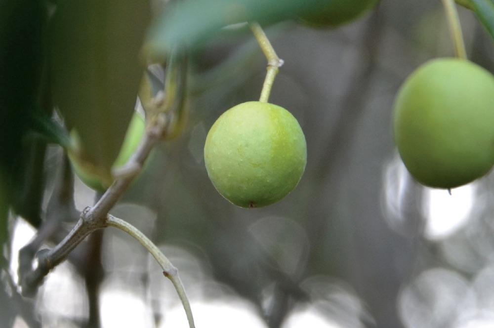 L'olivastra seggianese è una varietà di olive che cresce nei dintorni di Seggiano in Toscana