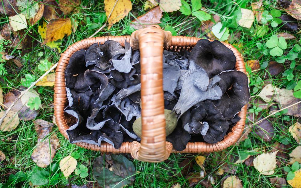Le trombette dei morti sono dei comuni funghi in Toscana