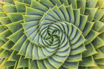 Perfetta spirale al centro di una pianta di aloe