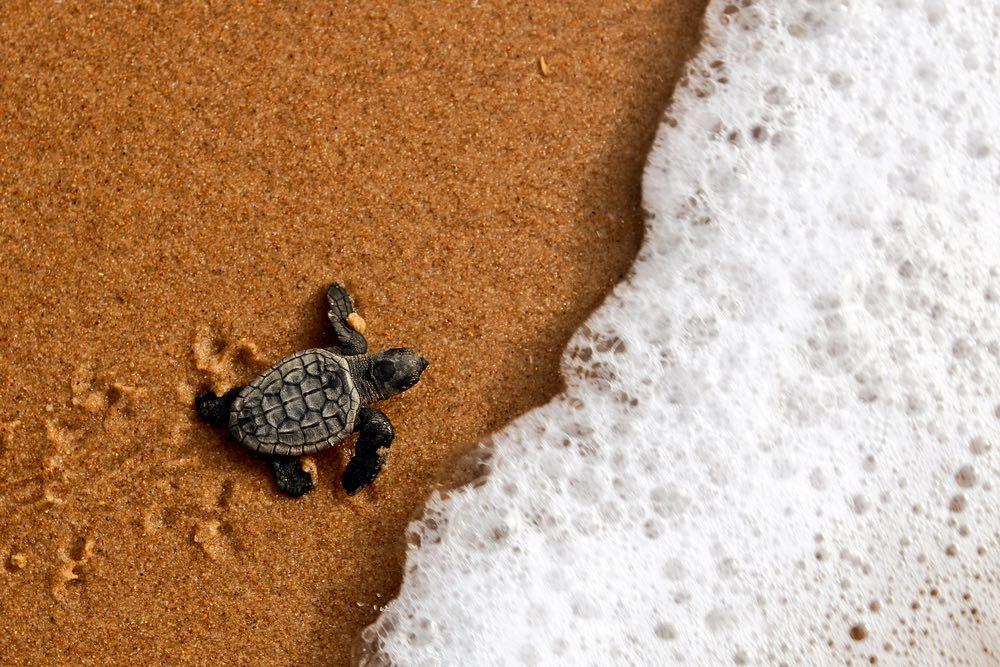 Piccola tartaruga sulla battigia accanto alla spuma del mare