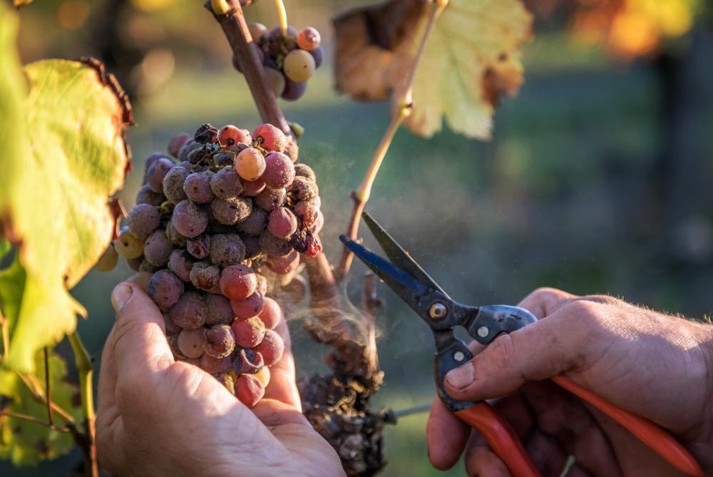 Grappolo d'uva attaccato dalla Botrytis cinerea la muffa nobile