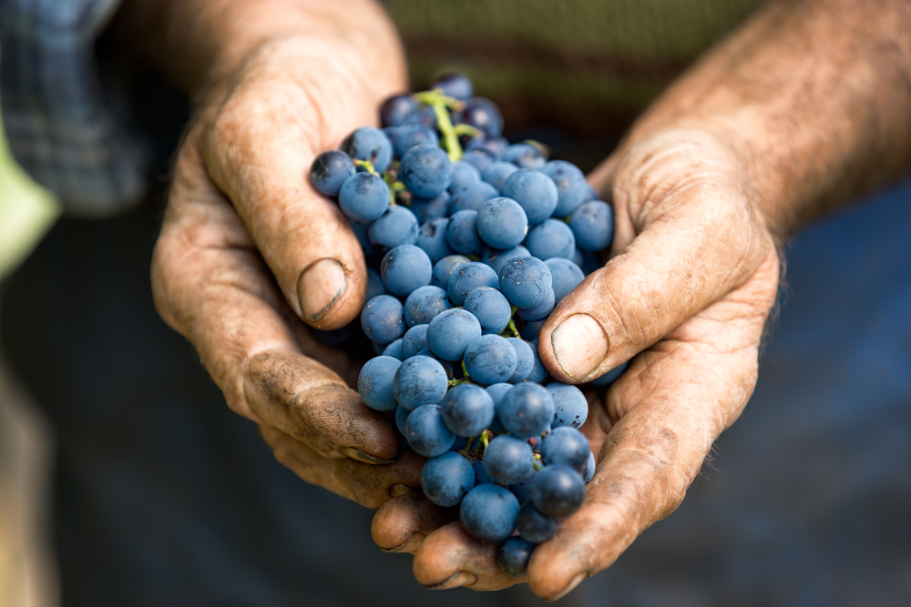Grappolo d'uva tra le mani di un contandino