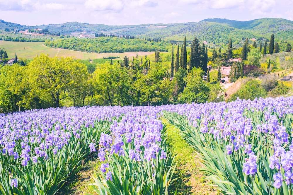 Campo di iris florentina in Toscana