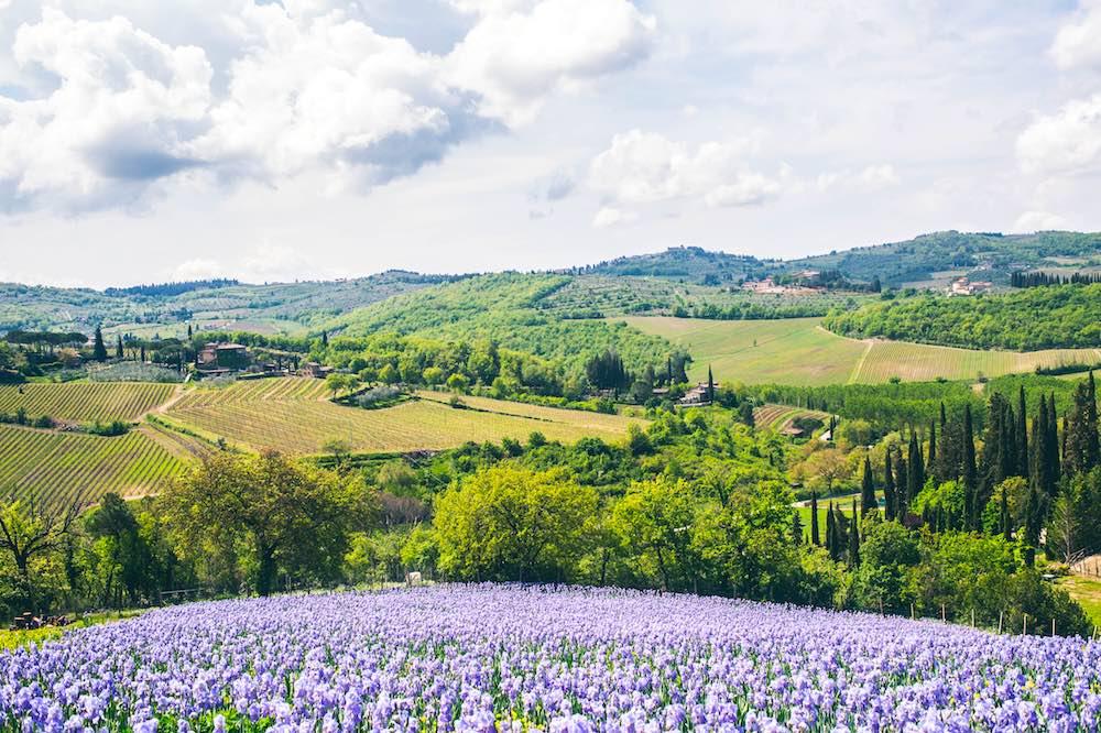 Campo di iris fiorentina dell'Azienda Leonardo Manetti di Greve in Chianti