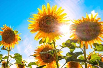 Primo piano di girasoli in Toscana in una giornata di sole