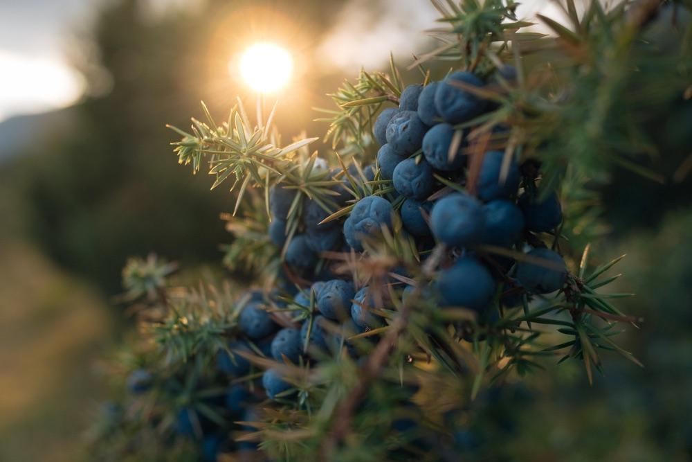 Pianta di ginepro al tramonto in Toscana con bacche mature