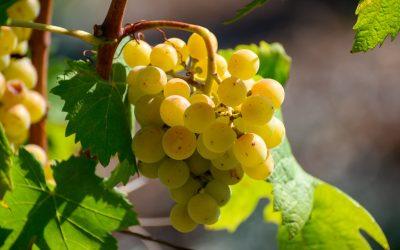Grappolo di trebbiamo toscano, vitigno a bacca bianca tipico del Centro Italia