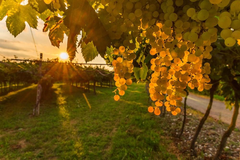 Vigna di Trebbiano toscano con grappoli d'uva maturi al tramonto