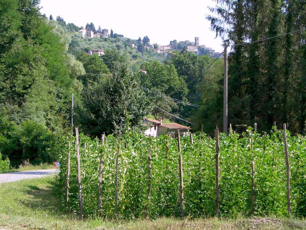 Piante di Fagiolo di Sorana IGP con dietro l'omonimo borgo toscano