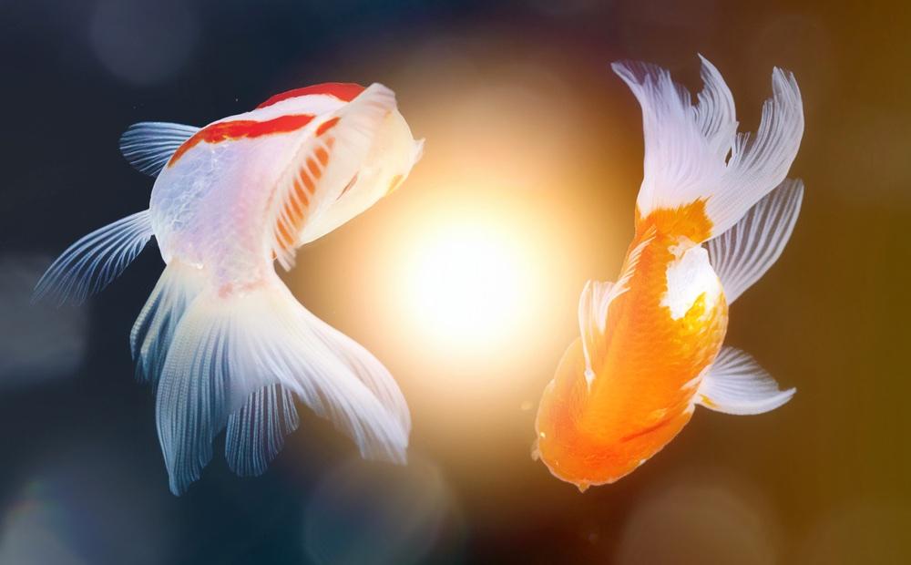 I due pesci Yin e Yang, nuotano in cerchio intorno alla luce