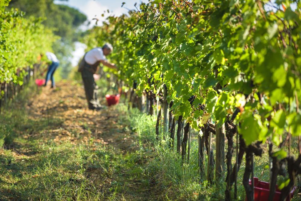 Raccolta dell'uva nella campagna toscana
