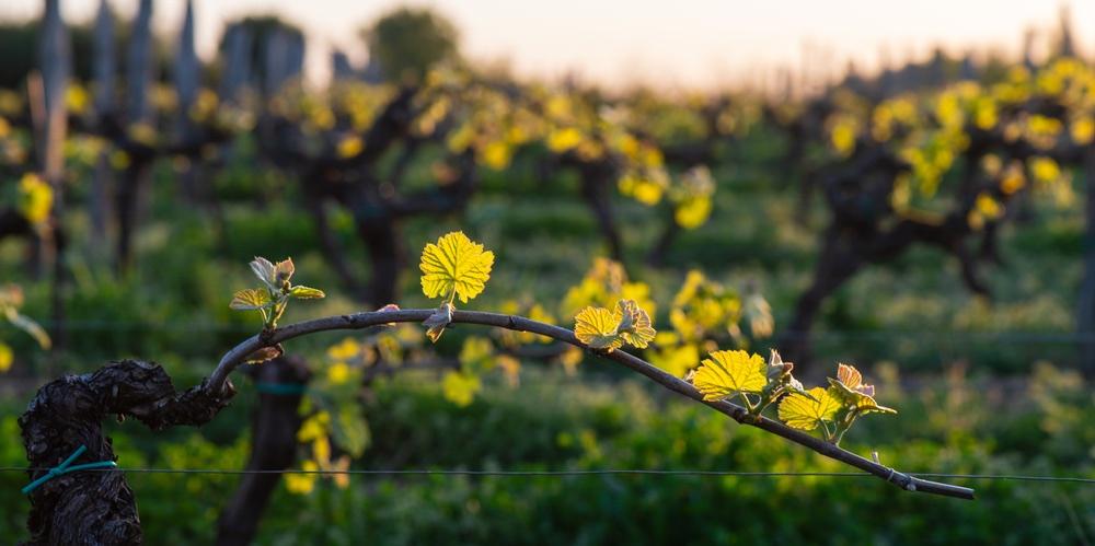 Giovani foglie di vite al tramonto