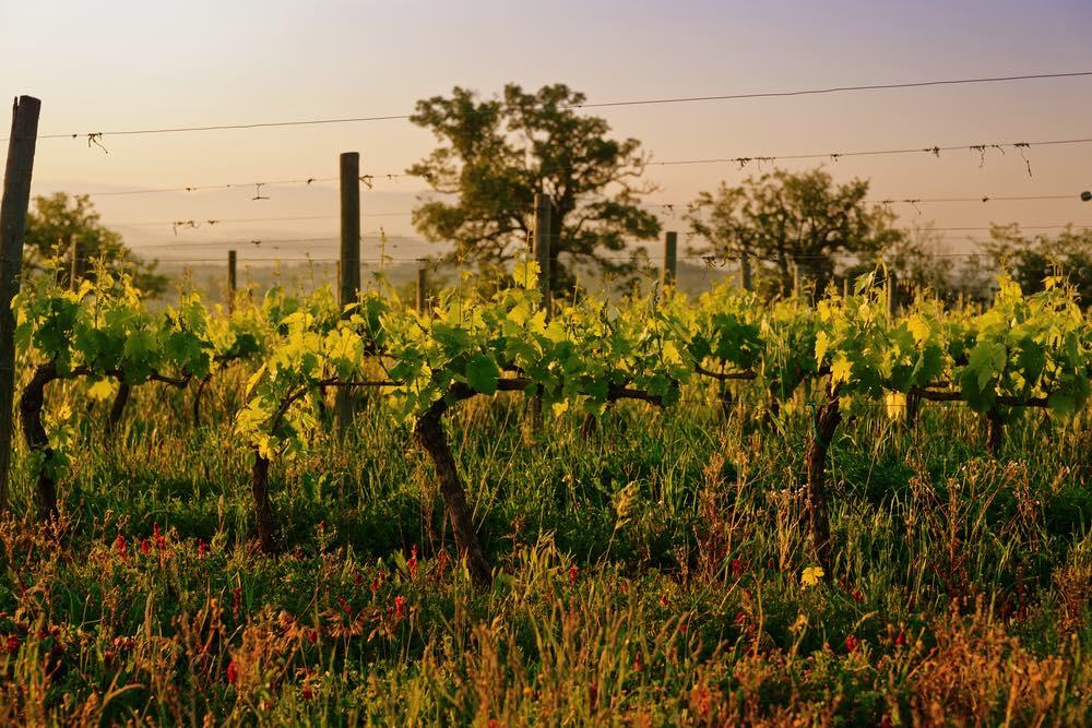 Vigne da viticoltura biodinamica in Toscana