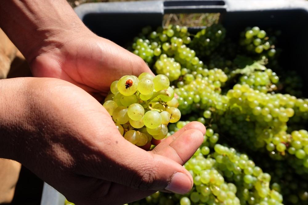Grappolo di uva con una coccinella nelle mani di un viticoltore