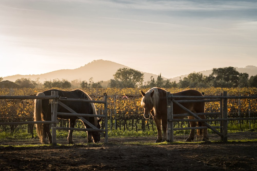 Cavalli nella Tenuta Casadei a Suvereto