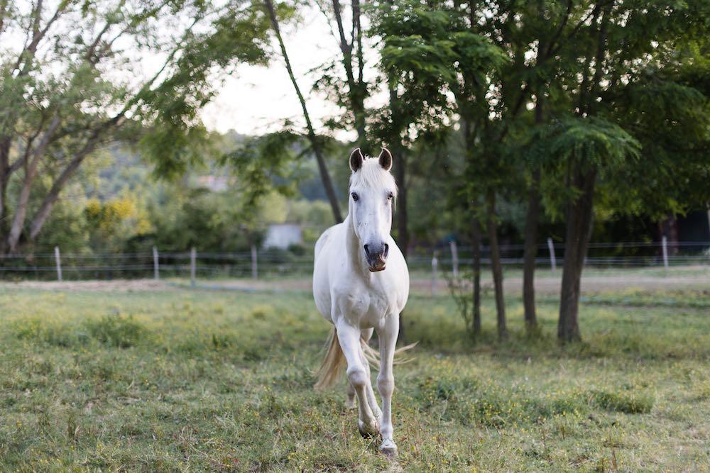 Cavallo bianco in corsa alla Tenuta La Scure a Cortona