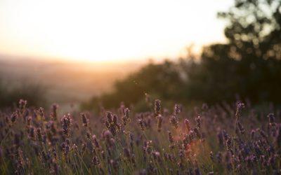 Campo di lavanda in Toscana al tramonto presso l'azienda I Coccoli
