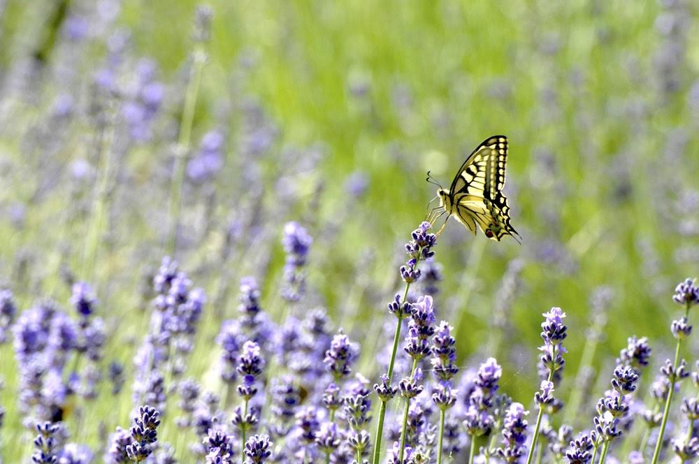Farfalla si posa su un fiore di lavanda in un campo in fiore in Toscana