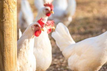 La Livorno bianca è una delle razze di galline ovaiole toscane